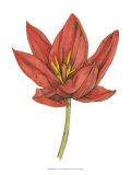 Tulip Beauty IV