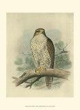 Iceland Falcon