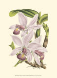 Delicate Orchid I