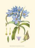 Periwinkle Blooms III