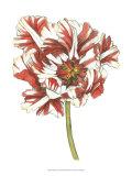 Tulip Beauty III