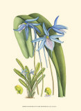 Periwinkle Blooms IV