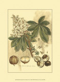 Antique Horse Chestnut Tree