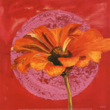 Zinnia Orange sur Pos Rose