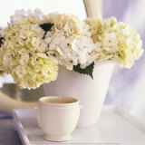 Hortensias Blancs