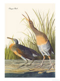 Clapper Rail