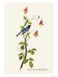 Black-Throated Blue Warbler Reproduction d'art par John James Audubon