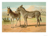 Abyssinian Male and Indian Onager Female