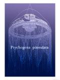 Jellyfish: Ptychogena Pinnulata
