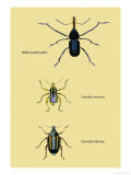 Beetles: Rhina Barbirostris  Curculio Cuvieru and C Vittatus