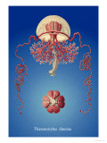 Jellyfish: Thamnostylus Dinema