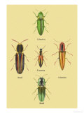 South American Beetles
