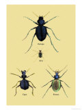 Beetles of Java  France  Cape and Europe