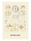 Jellyfish: Mitrocoma