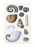 Shells: Ammonacea