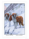 Two Saint Bernards