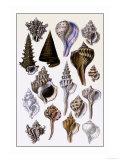 Shells: Trachelipoda