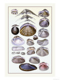 Shells: Dimyaria