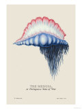 Medusa  or Portuguese Man of War