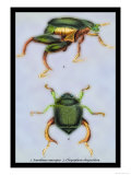 Beetles: Scarabaeus Macropus and Chrysophora Chrysochlora
