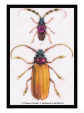 Beetles: Prianus Corticinus and Lanhonocerus Harbicarnis