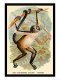 The Variegated Spider-Monkey