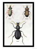 Beetles of Senegal  Britain and France