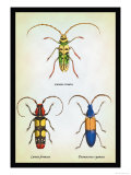 Beetles: Lamia Ornata  L Formosa and Desmocerus Cyaneus