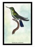 Hummingbird: Trochilus Avocetta