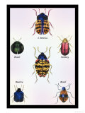 Beetles of Barbary and the Americas