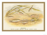 Sticklebacks