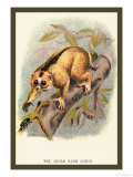 The Javan Slow Loris