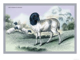 The Persian Sheep