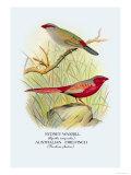 Sydney Waxbill  Australian Fire-Finch
