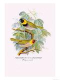 Cuba Finch