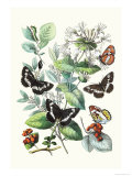 Butterflies: N Lucilla  L Sibylla