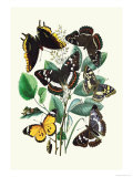 Butterflies: L Populi  A Iris
