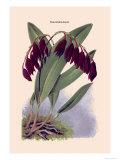Orchid: Pleurothallis-Roezli