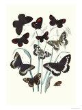 Butterflies: H Circe  H Hermione