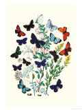 Butterflies: P Euphemus  P Cyllarus