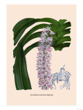 Orchid: Saccolabium Guttatum Gicanticum