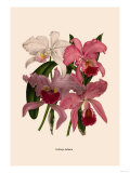 Orchid: Cattleya Labiata