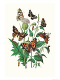 Butterflies: V Xanthomelas  V Prorsa