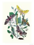 Moths: S Tilioe  S Quercus  S Populi  S Ocellatus