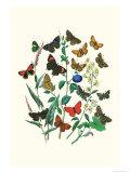 Butterflies: P Sylvanus  Z Quercus