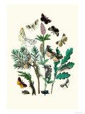 Moths: O Gonostigma  D Pudibunda