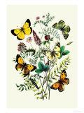 Butterflies: C Palaeno  C Phicomene