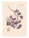 Orchid: Vanda Coerulescens