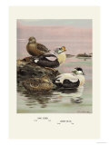 Eider and King Eider Ducks