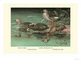 Four Duck Varieties